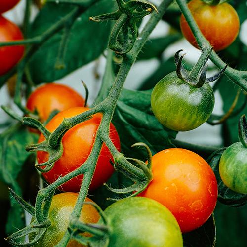 olio extra vergine IGP Sicilia, sapore pomodoro