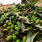 olive da olio moresca