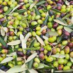 olive moresca