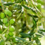 olive nocellara del belice