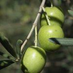 olive tonda iblea