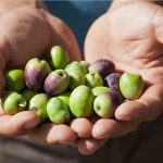 olive da olio tonda iblea